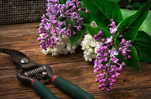 pruning lilac bushes