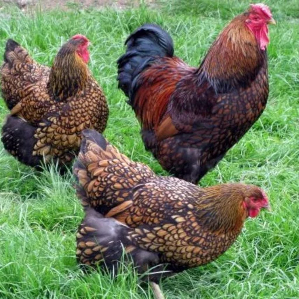 laced-wyandotte-chicken