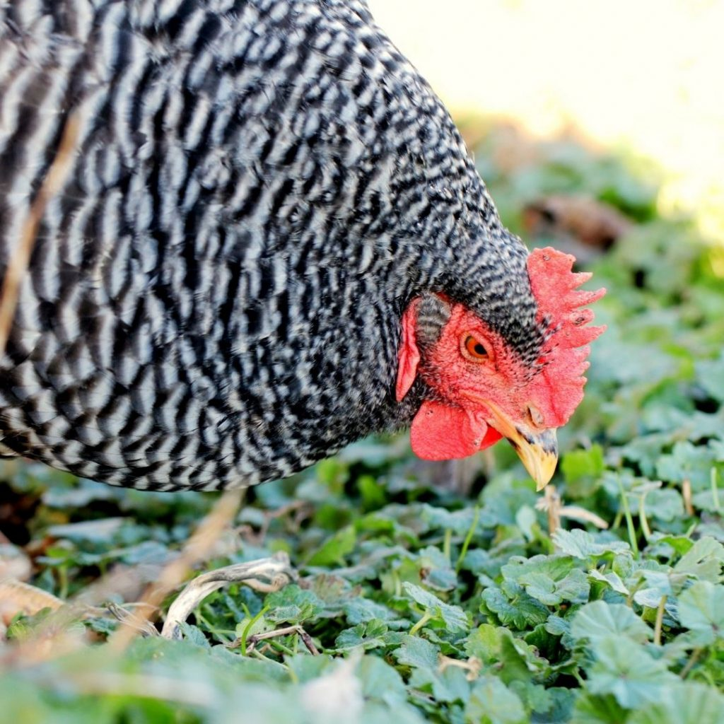 Plymouth-rock-chicken