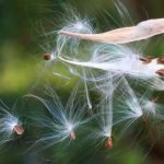 How to Keep Your Milkweed From Spreading