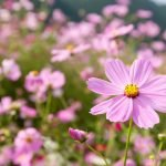 how to grow cosmos-