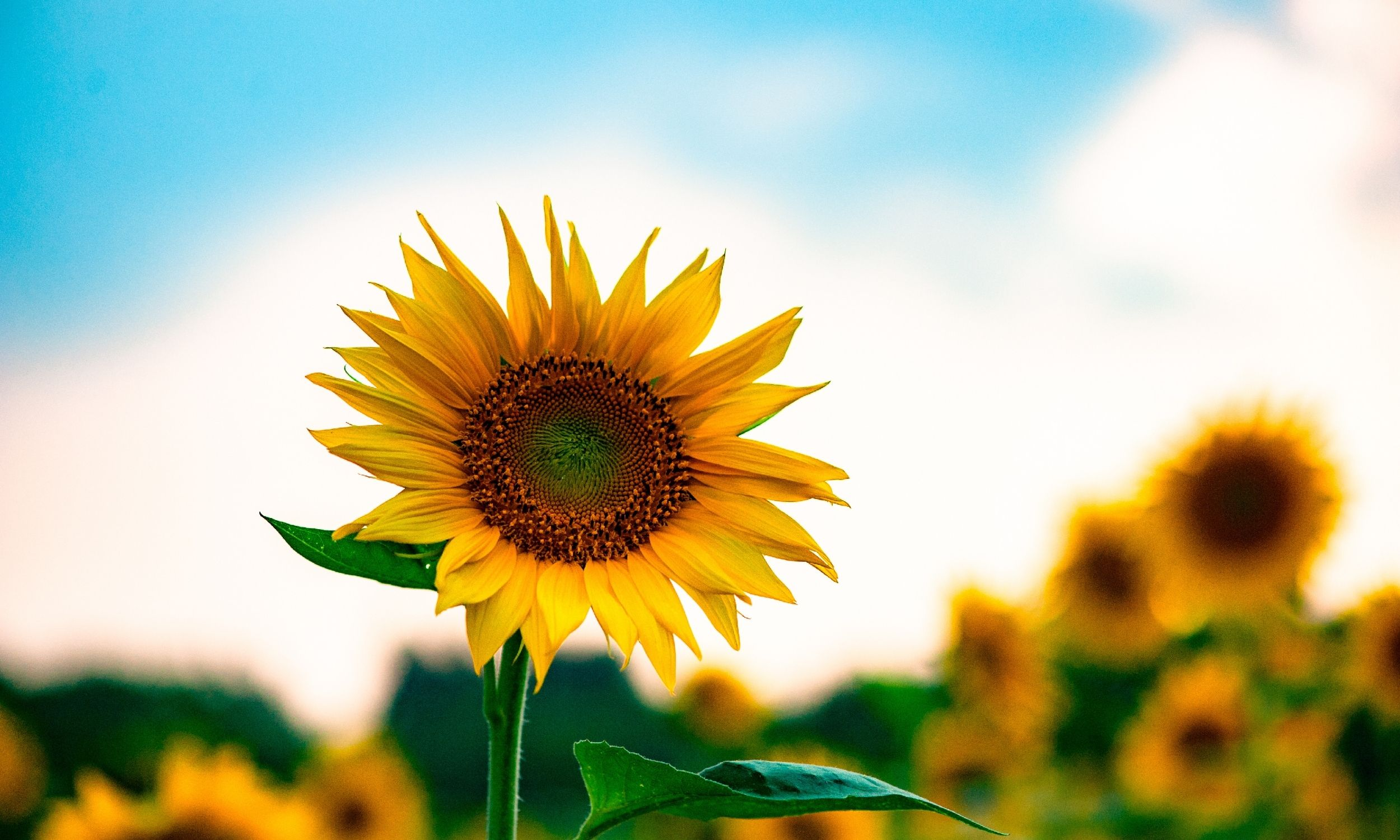 sunflower in a field with a blue sky in the background