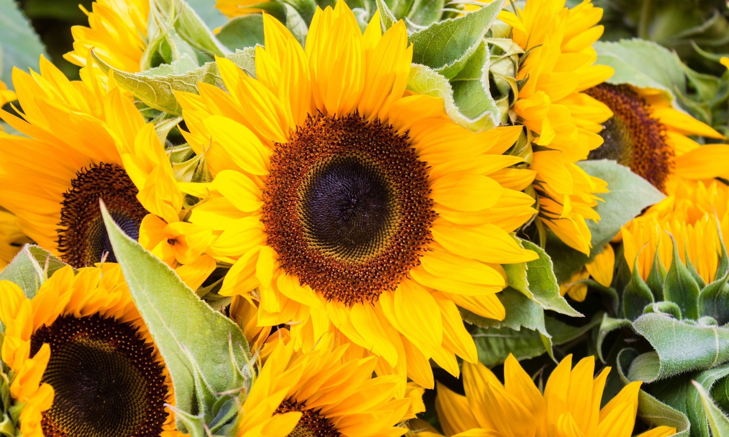 tips for growing sunflowers as cut flowers
