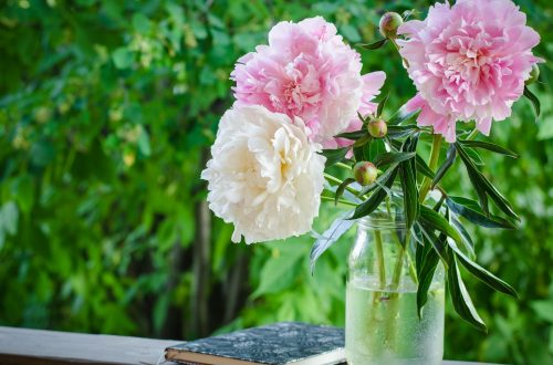 How and When to Cut Peonies